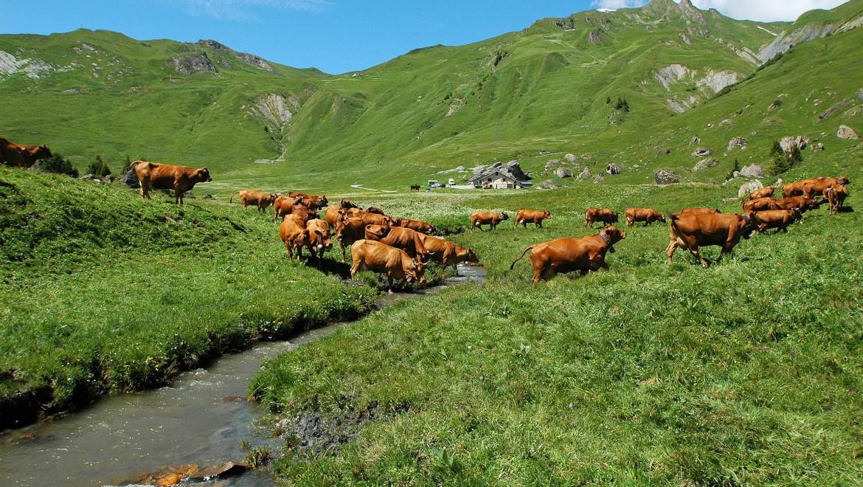 Nos troupeaux passent l'été sur les alpages, entre 1500 et 2500 m d'altitude